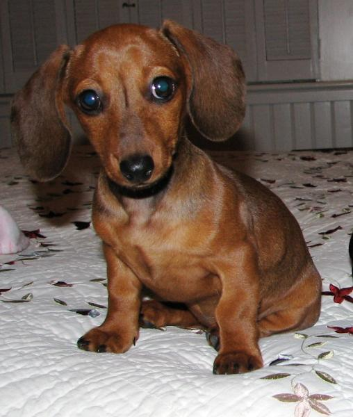 Toy Wiener Dog For Sale