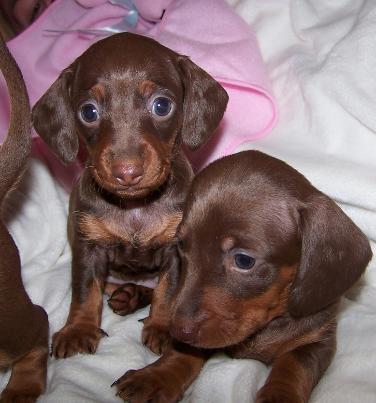 Teacup dachshund for sale in oklahoma
